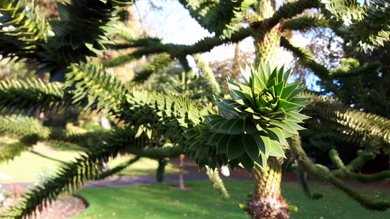 Sewerby Hall and Gardens: monkey puzzle tree