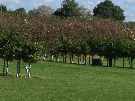 Banwell, UK: New Hedging on Super pitches is growing well.