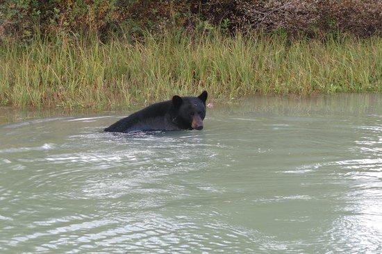 River Safari: another bear having a swim