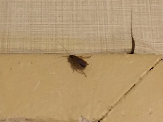 Dumfries, Βιρτζίνια: My room-mate: Ralph the Roach