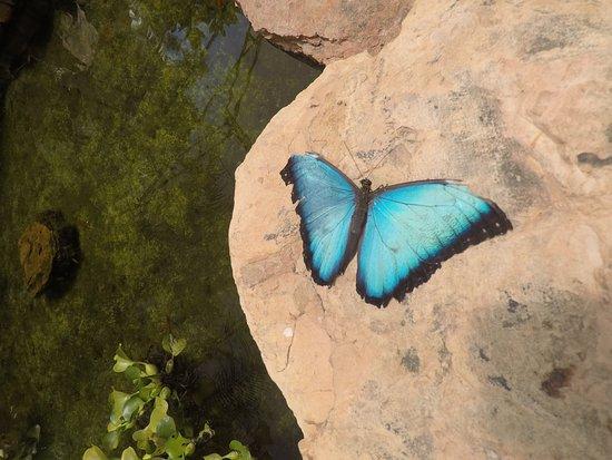 Mariposas de Mindo: Papillon en train de mourir..