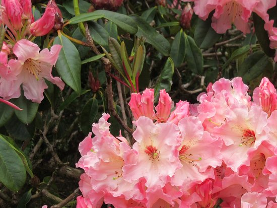 New Plymouth, Nueva Zelanda: Rhododendron in the garden