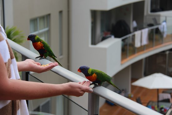 The Cove Noosa Resort: Feeding rainbow lorikeets from our balcony