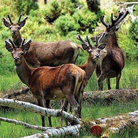 Westport, New Zealand: Wild Red Deer
