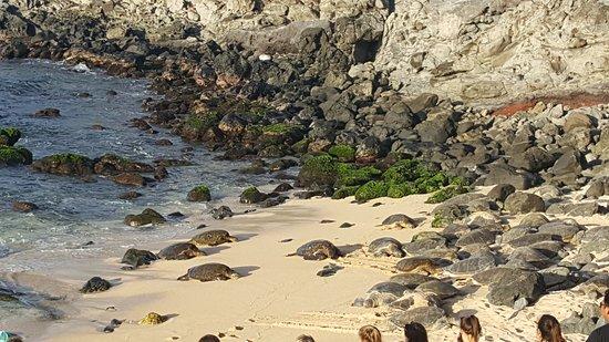 Paia, HI: Nesting turtles