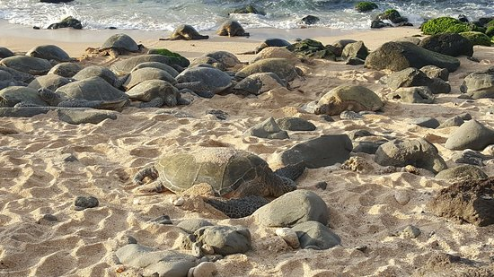 Paia, HI: Nesting turtles