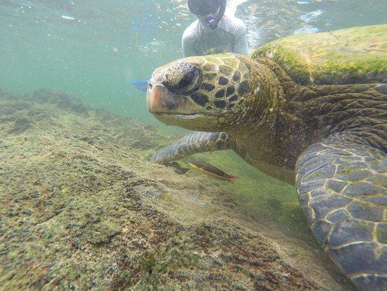 Puerto Villamil, Equador: Snorkeling con tortuga