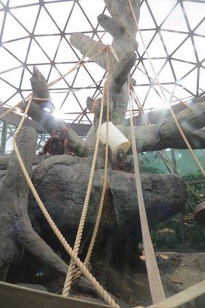 Cleveland Metroparks Zoo: Two female orangutans enjoy their indoor enclosure