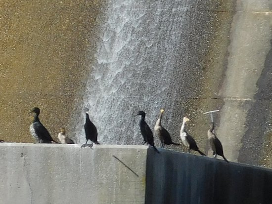 Lincolnton, GA: Birds....at bottom of dam