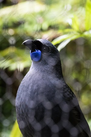 Pukaha Mount Bruce National Wildlife Centre: A kokako - such a striking blue.