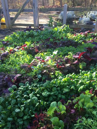Keswick Hall: Salad and herbs in the garden
