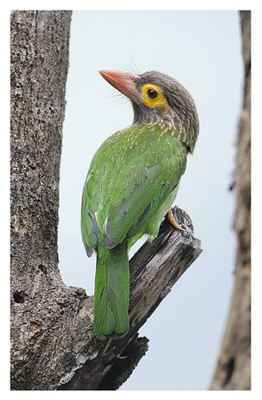 Rainforest Edge: A Brown-headed Barbet that visited a dead tree outside my lodge room.