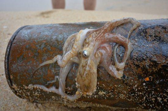 Lookal Mar: Вынесло волной махонького осьминога - отправили в родную стихию - выпустили опть в океан