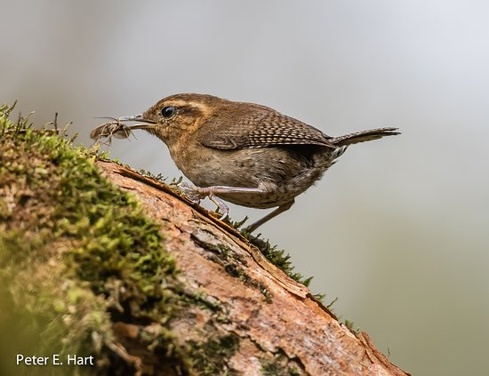 Cosanga, Equador: Mountain Wren