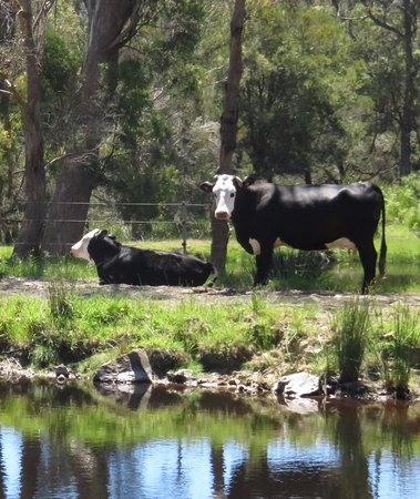 Platypus Park Country Retreat: Cows