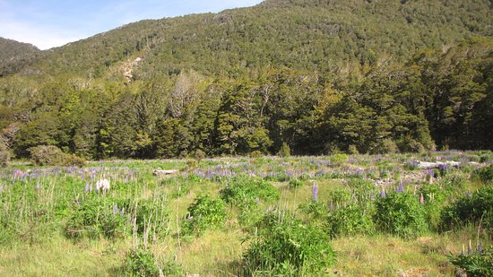 DOC Cascade Creek Campsite: Lovely lupines in season