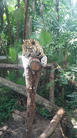 The Belize Zoo: One of several Jaguars at the zoo