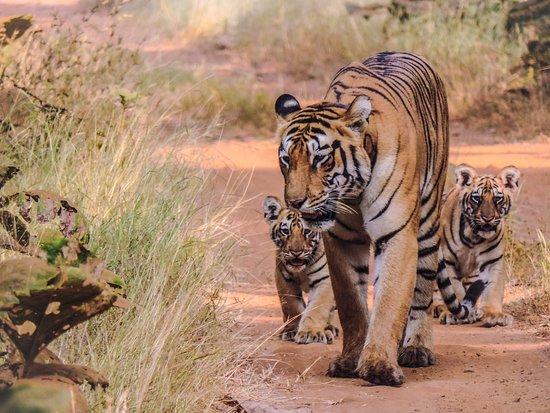 Chandrapur District, India: Tadoba-Andhari Tiger Reserve