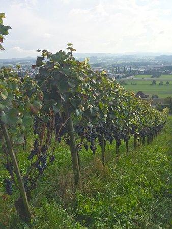 Wein-Wanderweg Weinfelden