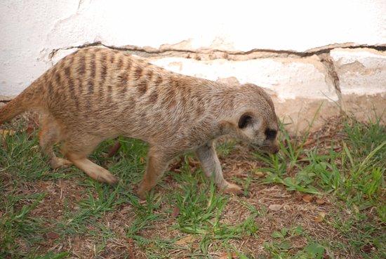 Centurion, Sør-Afrika: tame meercat in hotel grounds