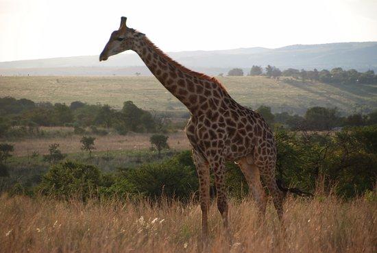 Centurion, Sør-Afrika: giraffe on game drive