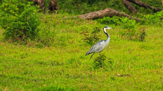 Uganda: Purple Heron !!!