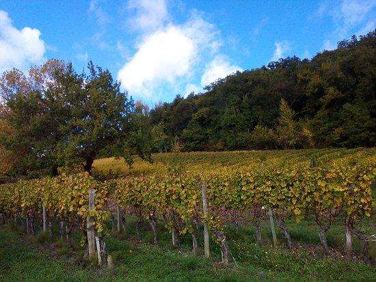Loupiac, France: Vignes avant la fin des vendanges