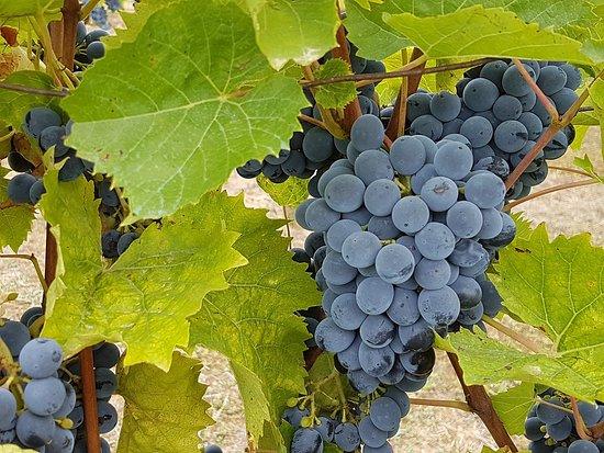 Gers, Francia: Grappes de raisins