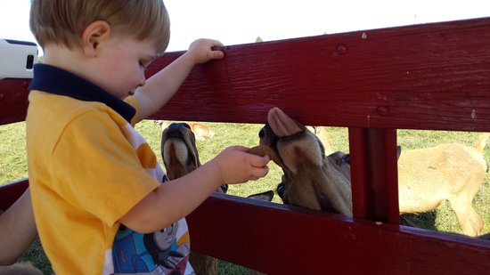 Catawissa, PA: Feeding the deer from the wagon.