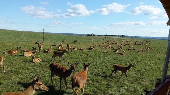 Catawissa, เพนซิลเวเนีย: The herd of doe and fawns/juveniles.