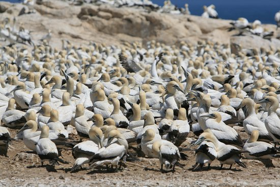 Bird Island Nature Reserve: Kaptölpel