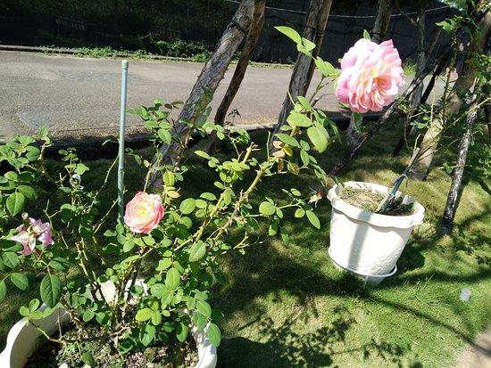 Yunlin, Taiwan: 園裡玫瑰