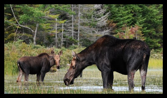 Greenville, ME: cow and calf