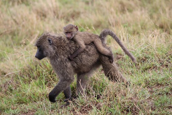 Baboons & Vervits: ma, go faster..