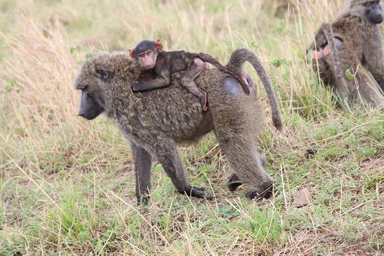Baboons & Vervits: thats ma ride..