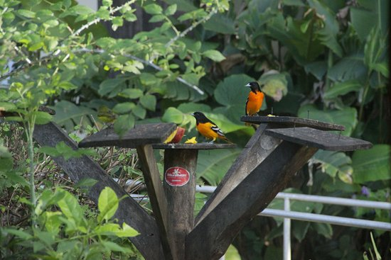 Stella's Bakery Art Coffee Shop: The famous Baltimore oriole (Icterus galbula)