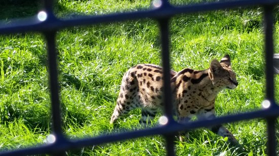 Magnetic Hill Zoo: Serval