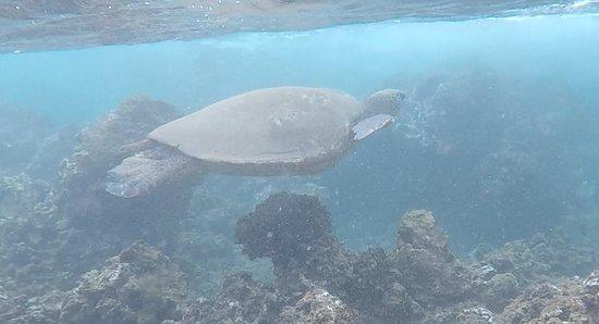Wailea Beach: turtle waimea