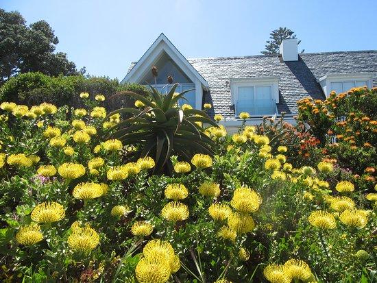 Hermanus, Sudáfrica: Proteas in bloom