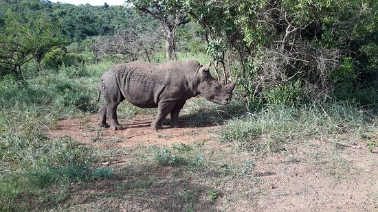 Zululand, Südafrika: Beautiful rhino