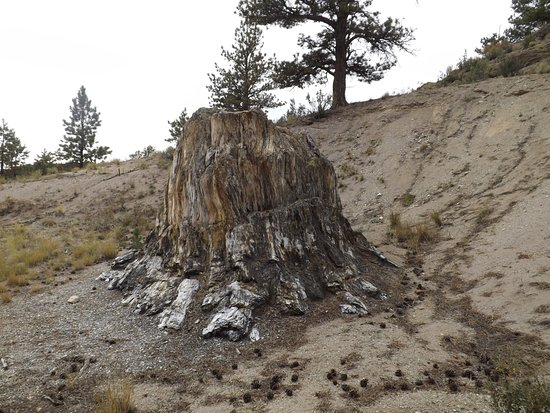 Florissant, CO: Fossilized Sequoia