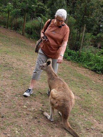 Gunns Plains, Australia: Meeting a friendly kangaroo. Made me miss my cats.