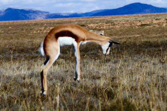 Mountain Zebra National Park: Prancing Springbok in full flight