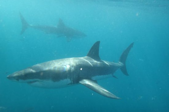 Half-Day White Shark Cage Diving from...