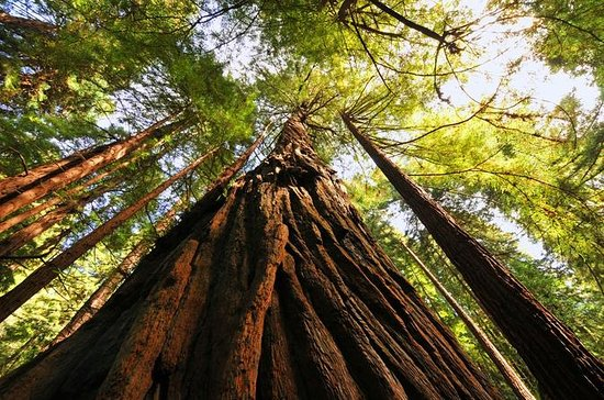 Muir Woods, Giant Redwoods and...
