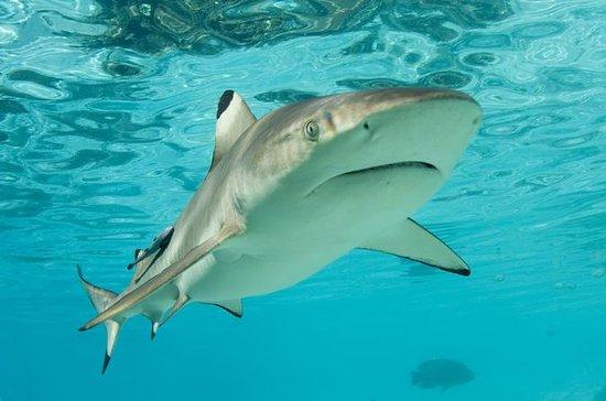 Immersioni di squali di Nassau