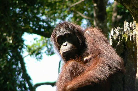 Sandakan Sepilok Orang Utan Rehabilitation Center Full-Day Trip from...