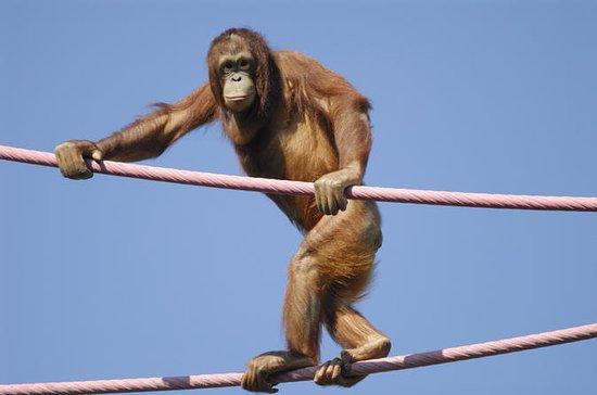 Semenggok Orangutan Rehabilitation...