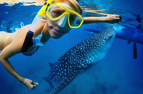 La Paz Whale Shark Snorkeling Tour...