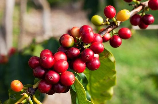 Jardin Coffee Plantation Tour from ...
